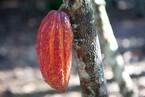 Il cacao in piantagione