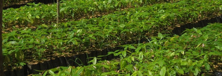 vivaio piante cacao piccole